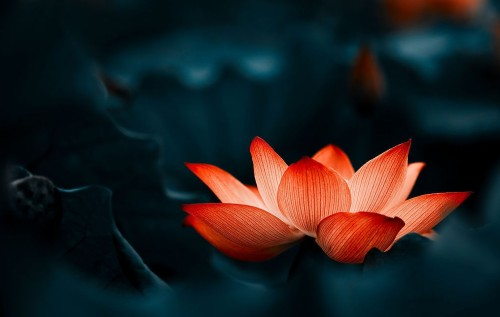 red_lotus_flower_image